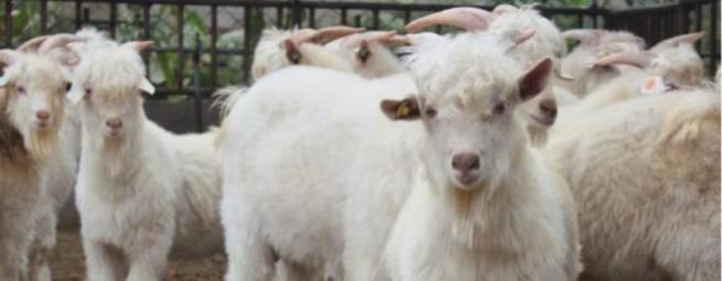 Коллекция Шерсть кашемировых коз | Flaum Kaschmir Kollektion