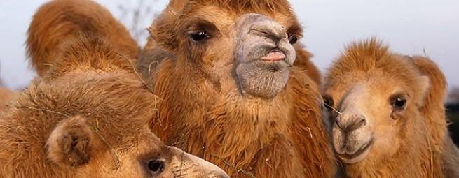 Коллекция Верблюжья шерсть | Flaum Kamel Kollektion