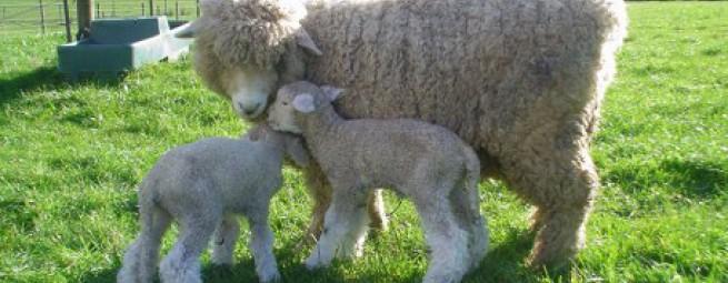 Коллекция Новозеландская шерсть   Flaum Neuseeland Wolle Kollektion